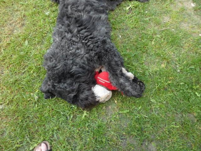 Jules, chien Bouvier des Flandres