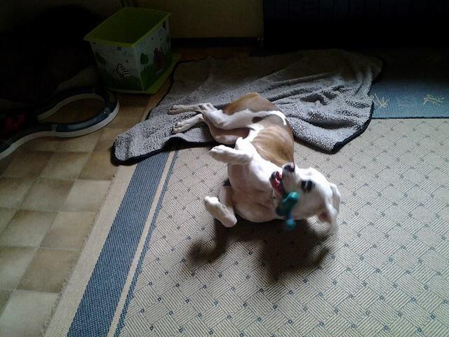 Inès, chien Boxer
