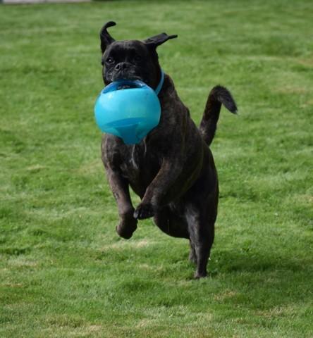 Tekila, chien Boxer