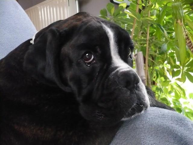 Spyke, chien Boxer
