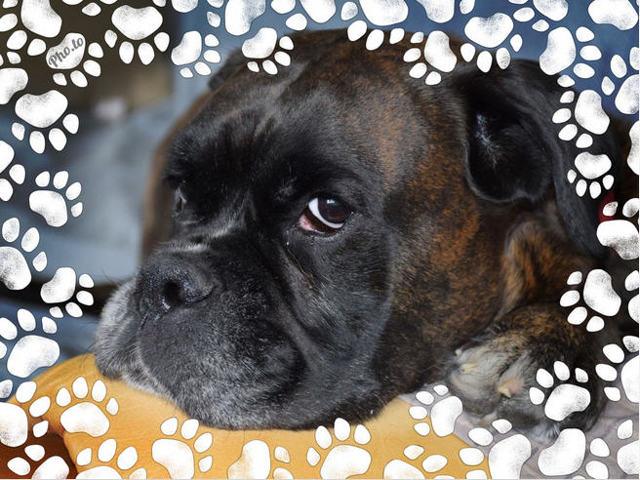 Diana, chien Boxer