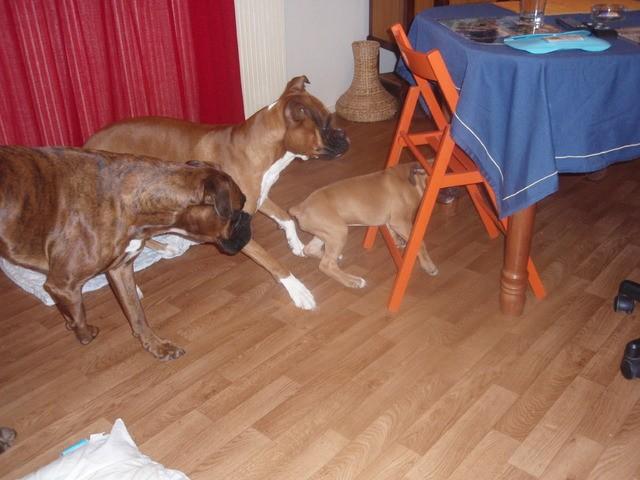 Lasco, chien Boxer