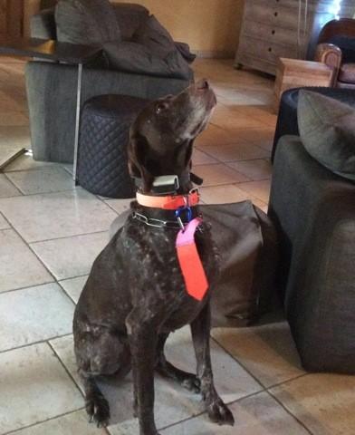 Brak, chien Braque allemand à poil court