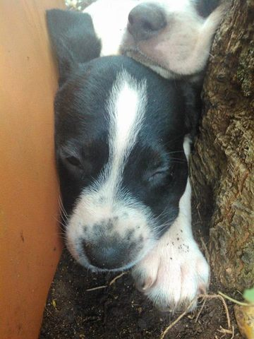 La Portée D'Haven, chien Braque allemand à poil court