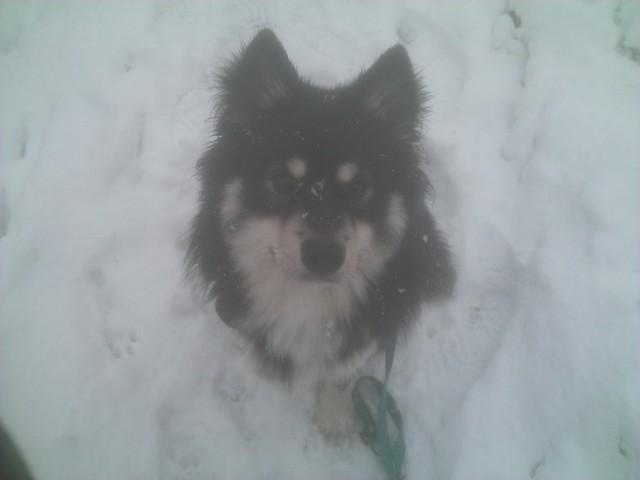 photo de braum chien chien finnois de laponie 392566 wamiz. Black Bedroom Furniture Sets. Home Design Ideas