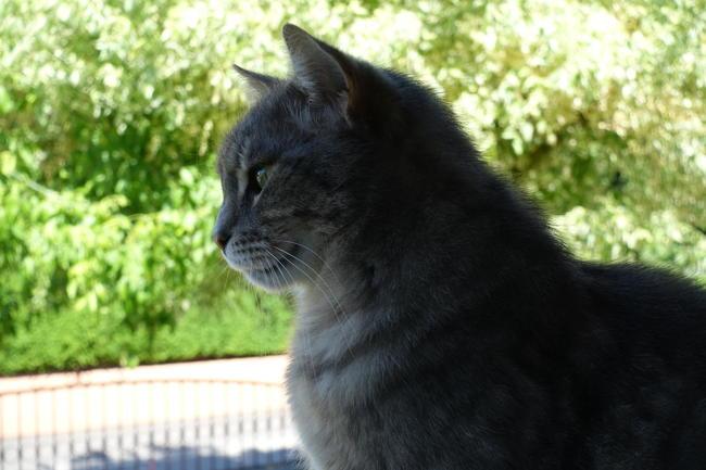 Brindille, chat Européen