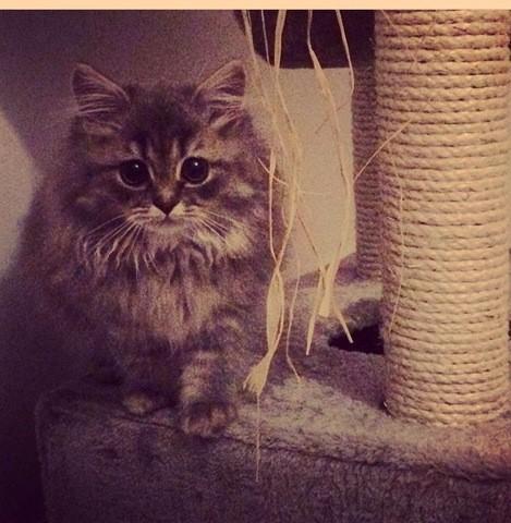 Kalvin Jolicoeur, chat British Longhair