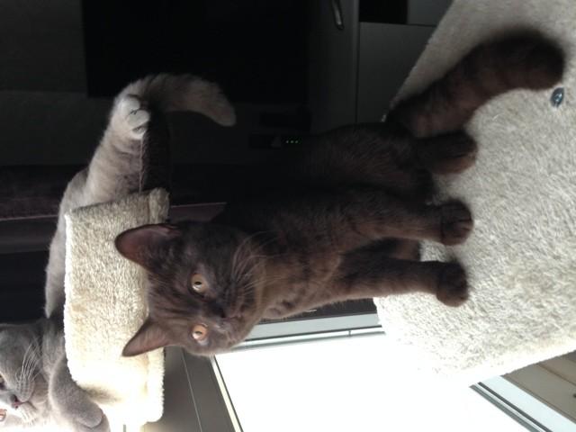 Nouméa, chaton British Shorthair