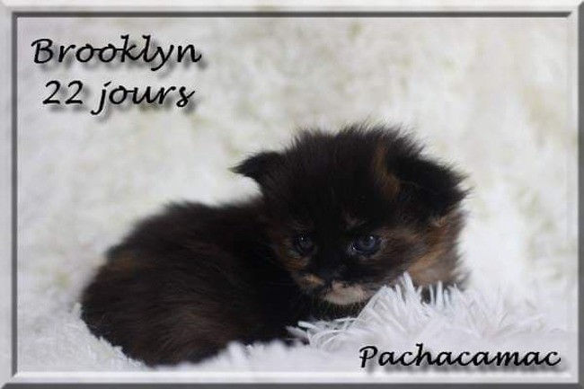 Brooklyne Of Pachacamac, chat Maine Coon