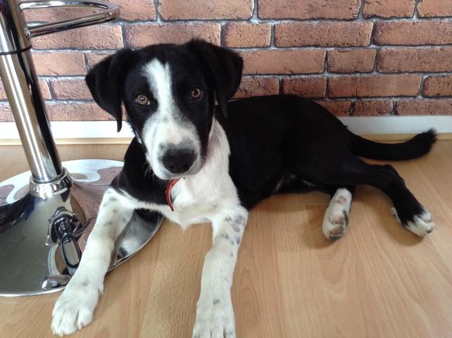 Buddha, chien Border Collie