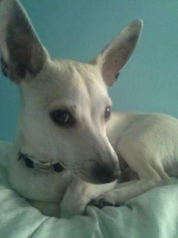 Buddy, chiot Chihuahua