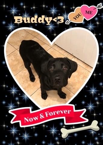 Buddy, chiot Labrador Retriever