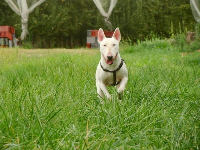 Luigi, chien Bull Terrier