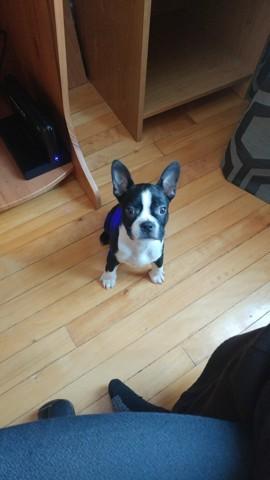 Maggie, chiot Bull Terrier