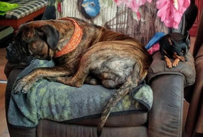 Achille, chien Bullmastiff