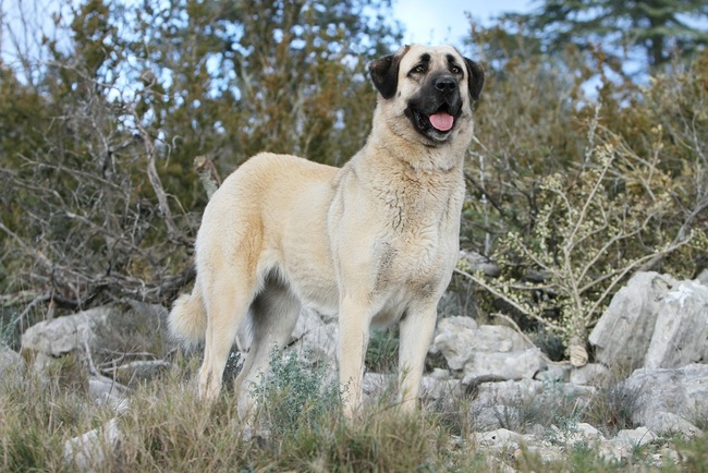 vs bully kutta - PicArena Image Match - kangal pictures, bully kutta ...