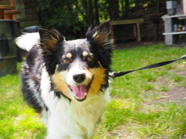 Cachou, chien Border Collie