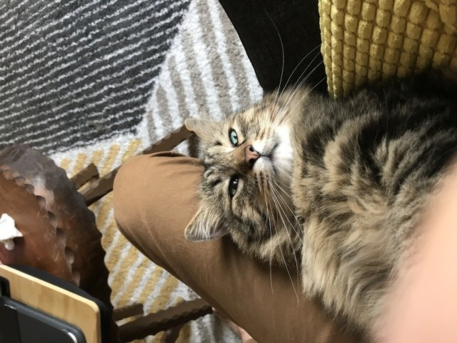 Cael, chat Maine Coon