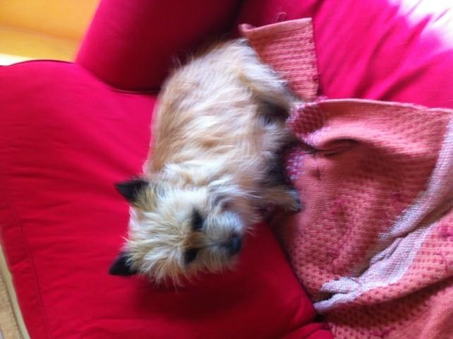 Filou, chien Cairn Terrier