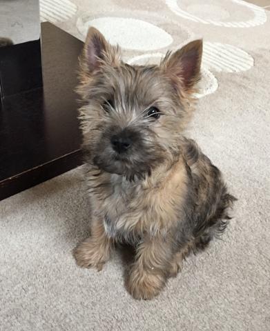 Mirabelle, chiot Cairn Terrier
