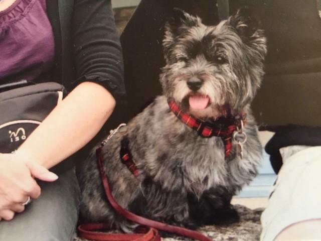 Prunelle, chien Cairn Terrier