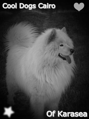 Cairo , chien Samoyède