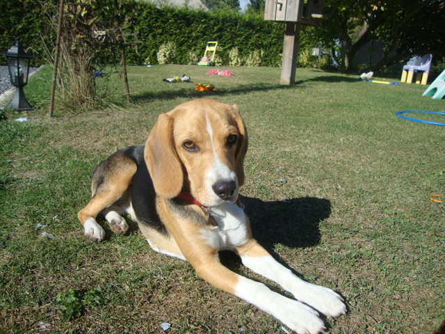 Caline, chien Beagle
