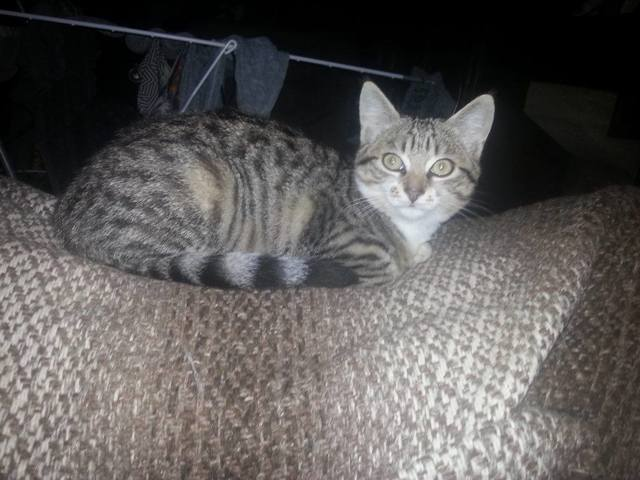 Caline, chaton Européen