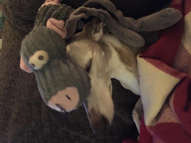 Callie, chien Whippet