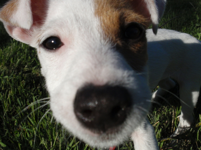 Calou, chien Jack Russell Terrier