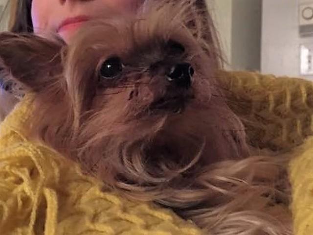 Cami, chien Yorkshire Terrier