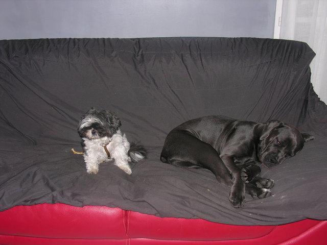Ixane, chien Cane Corso