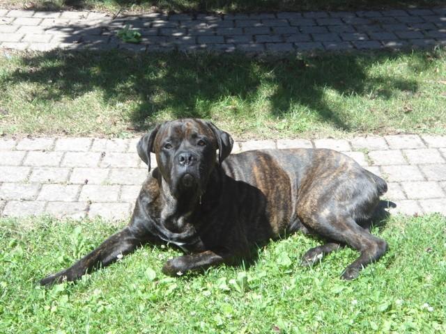 Tyzer, chien Cane Corso
