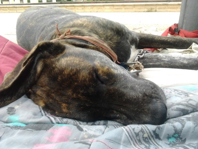 Tonere, chien Cane Corso