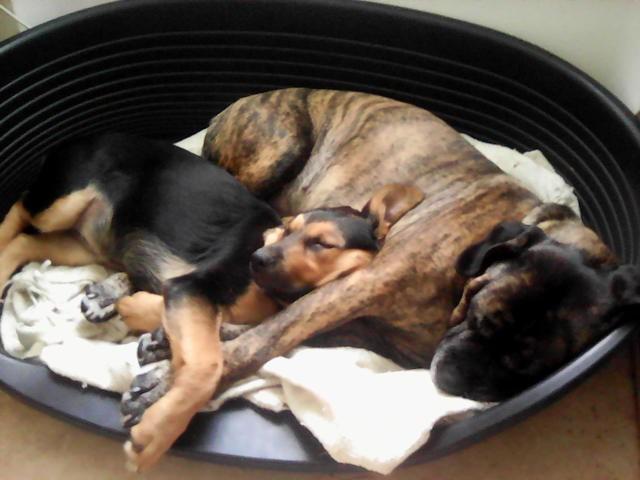 Jippie, chien Cane Corso