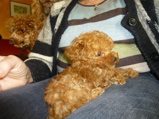 Joss, chien Caniche