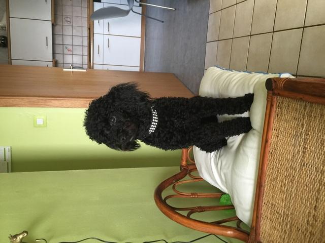Jecko , chien Caniche