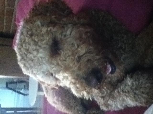 Prunelle, chien Caniche