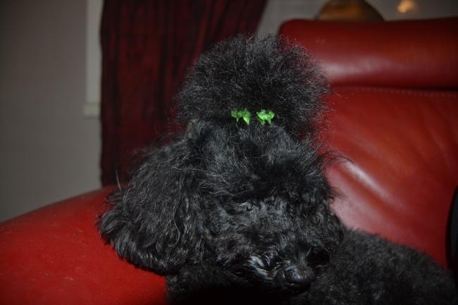 Wang Fee, chien Caniche