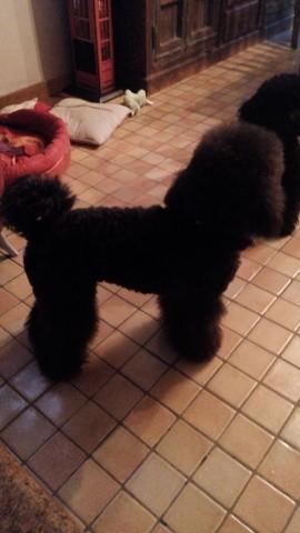 First, chien Caniche