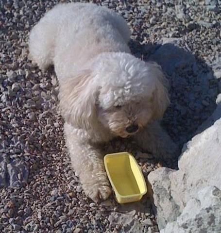 Athos, chien Caniche