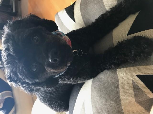 Puppy, chien Caniche