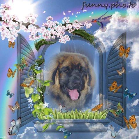 Caramel, chien Leonberger