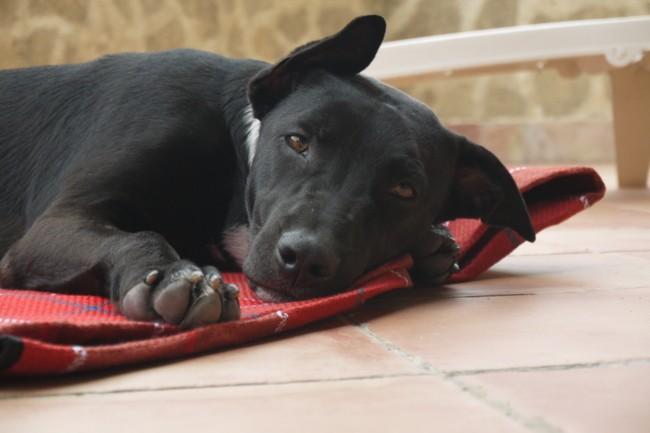 Carbone, chien