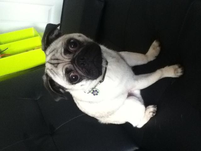 Toker, chien Carlin