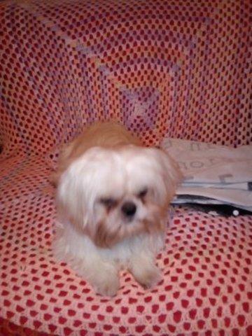 Casper, chien Shih Tzu