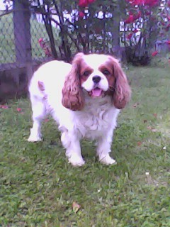 Eurly, chien Cavalier King Charles Spaniel