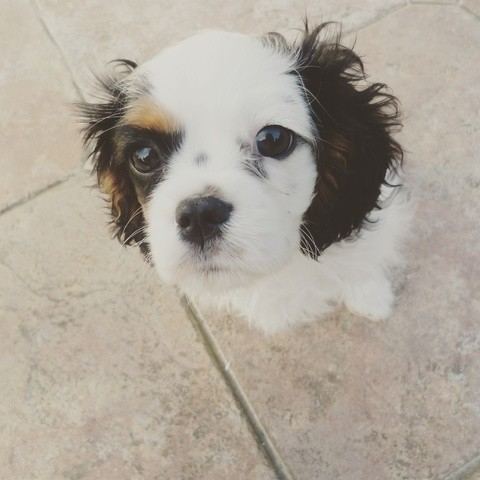 Fiby, chien Cavalier King Charles Spaniel