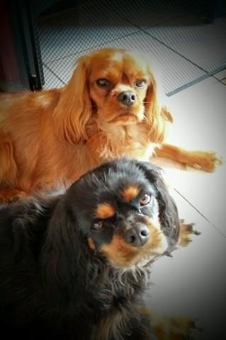 Leia, chien Cavalier King Charles Spaniel