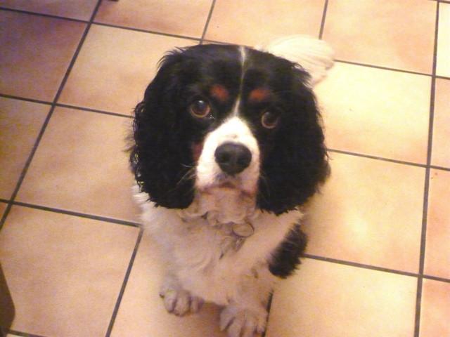 Heidi, chien Cavalier King Charles Spaniel